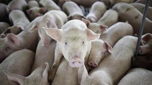 cerdos-purines-porcino--644x362--644x362